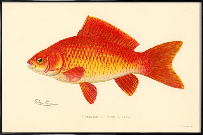 goldfish as acrylic glass print by vintage art archive juniqe