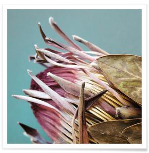 Protea Afrikana