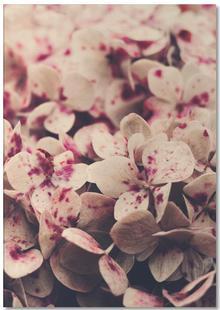Pink Freckles