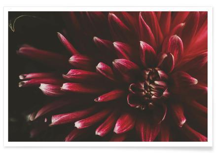 Ruby Red Dahlia