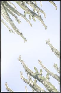 Madagascar Euphorbia