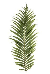Baobab Leaf