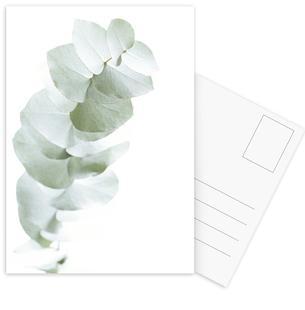 Eucalyptus White 1