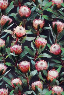 Evening Proteas in Color