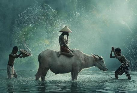 Water Buffalo - Vichaya