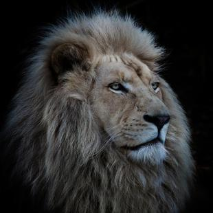 Proud Lion - Louise Wolbergs