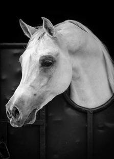 Arabian Horse - Waseem Al - Hammad