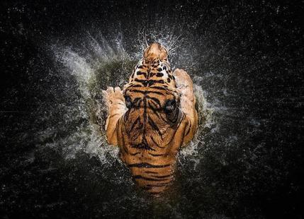 Tiger Splash - Win Leslee