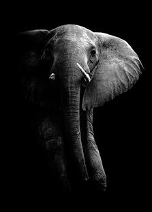 Elephant - Wild Photo Art