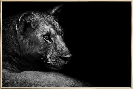 Lion - Wild Photo Art