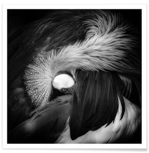 Grey Crowned Crane - Giovanni Casini