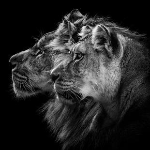 Lion And  Lioness Pt - Laurent Lothare Dambreville