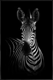 The Zebra - Wildphotoart