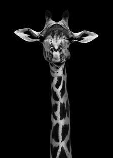Giraffe Pt - Wildphotoart