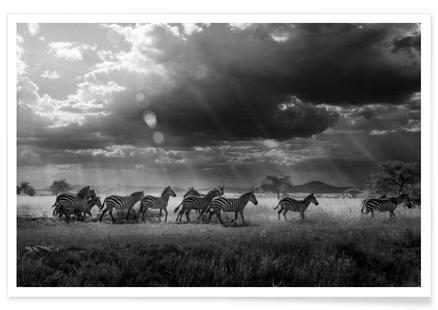 Zebras Paradise - Daniel Glauser