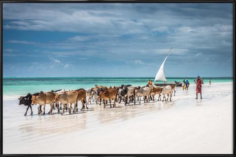 Masai Cattle on Zanzibar Beach