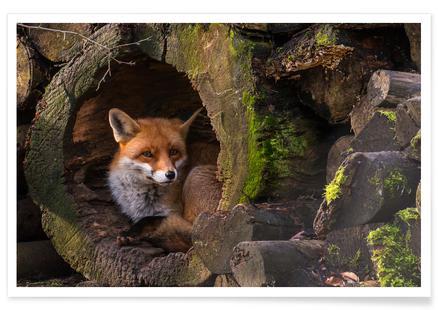 Fox - Ceesvan Ginkel