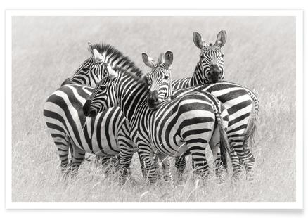 Zebras - Kirill Trubitsyn