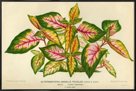 Alternanthera Amabilis Tricolor