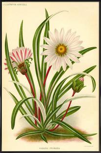 Gazania Pygmaea