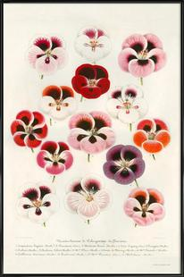Geranium Varieties