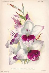 Gladiolus Lemoinei