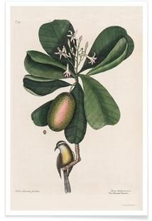 Mark Catesby, Naturalist, 1720's