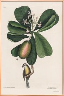 Mark Catesby, Naturalist, 1720's