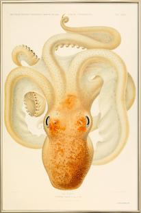 Octopus - Die Cephalopod - 1915 - Plate 76
