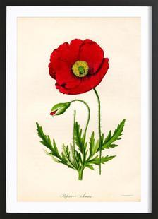 Papaver Rhoeas, Red Poppy