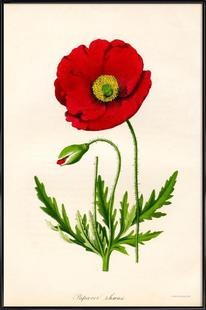 Papaver Rhoeas, Red Poppy