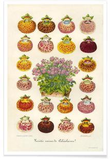 Slipper Flower Varieties