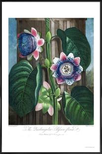 The Quadrangular Passion-Flower
