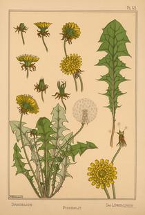 Eugene Grasset - Dandelion 43