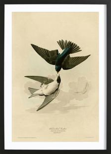 White Bellied Swallow