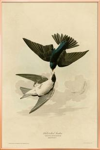 White Bellied Swallow