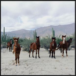 Bahía de los Ángeles Wild Horses