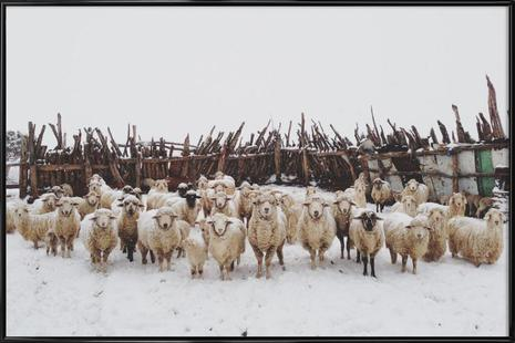 Snowy Sheep Stare