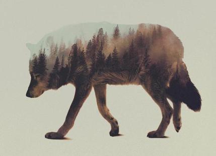 Norwegian Woods: The Wolf
