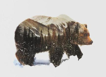 Artic Grizzly Bear