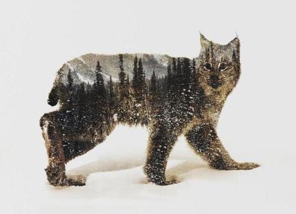 Artic Lynx