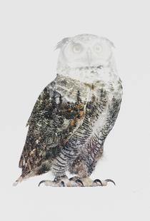 Artic Owl