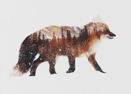 Artic Red Fox