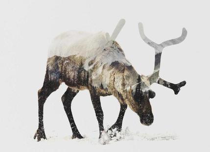 Artic Reindeer