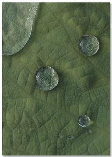 Lotus Water Drops