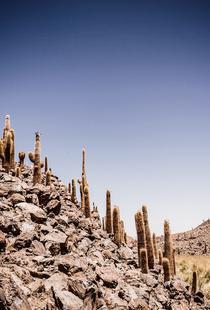 Atacama Cacti Family