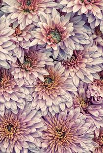 Wheeping Chrysanthemums
