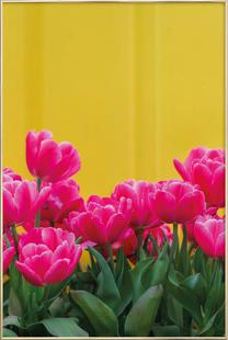 Pink Tulips Yellow