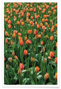 Tulip Field Orange