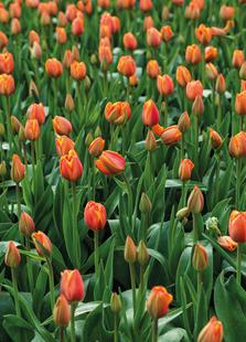 Tulip Field Orange